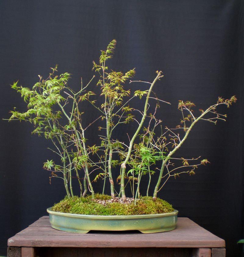 Δάσος Acer Palmatum