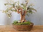Olive oil in tree bark pot